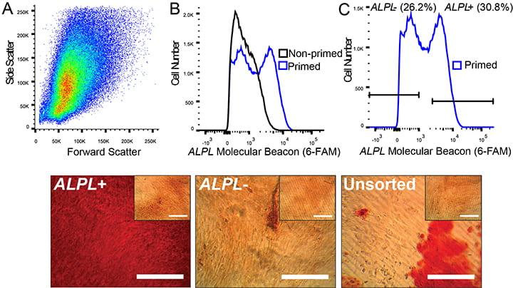 Enrichment of cells using molecular beacons