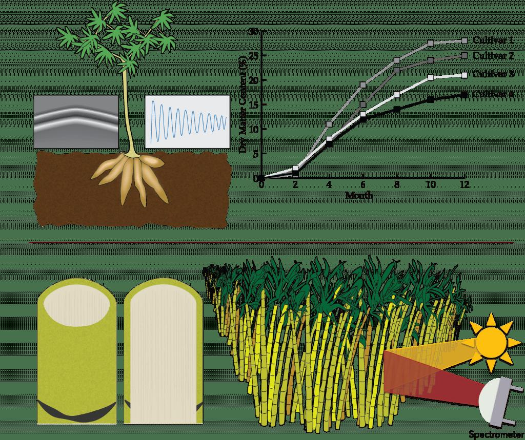 Sensors for cassava and sugarcane