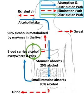 How the body Processes alcohol
