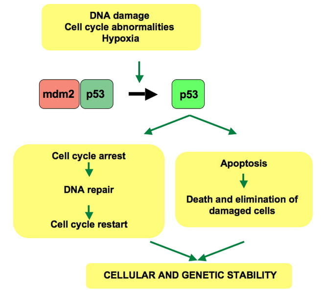 "Upon DNA damage or other stresses, this ""guardian angel gene"" induces a cell cycle arrest to allow either repair and survival of the cell or apoptosis to discard the damaged cell."
