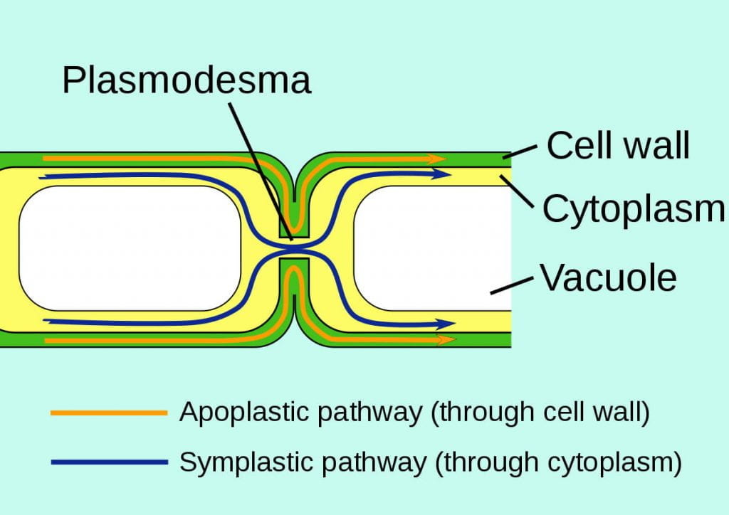 Apoplast and symplast pathways