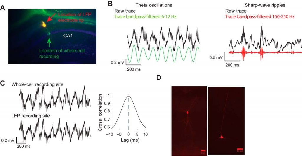 New Paper: Mesoscale-duration activated states gate spiking in response to fast rises in membrane voltage in the awake brain