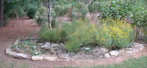 Example of a granite outcrop environment showing Stone Mountains daisies in bloom.