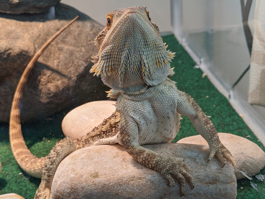 A picture of a bearded dragon leaning on a rock as though it was Lucy from Peanuts waiting for people at a booth.
