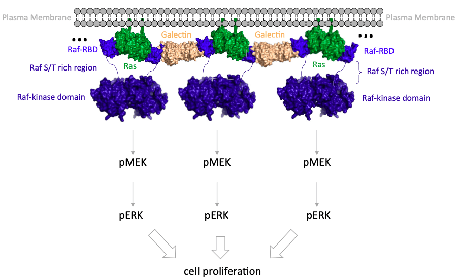 Raf promotes dimerization of the Ras G-domain with increased allosteric connections