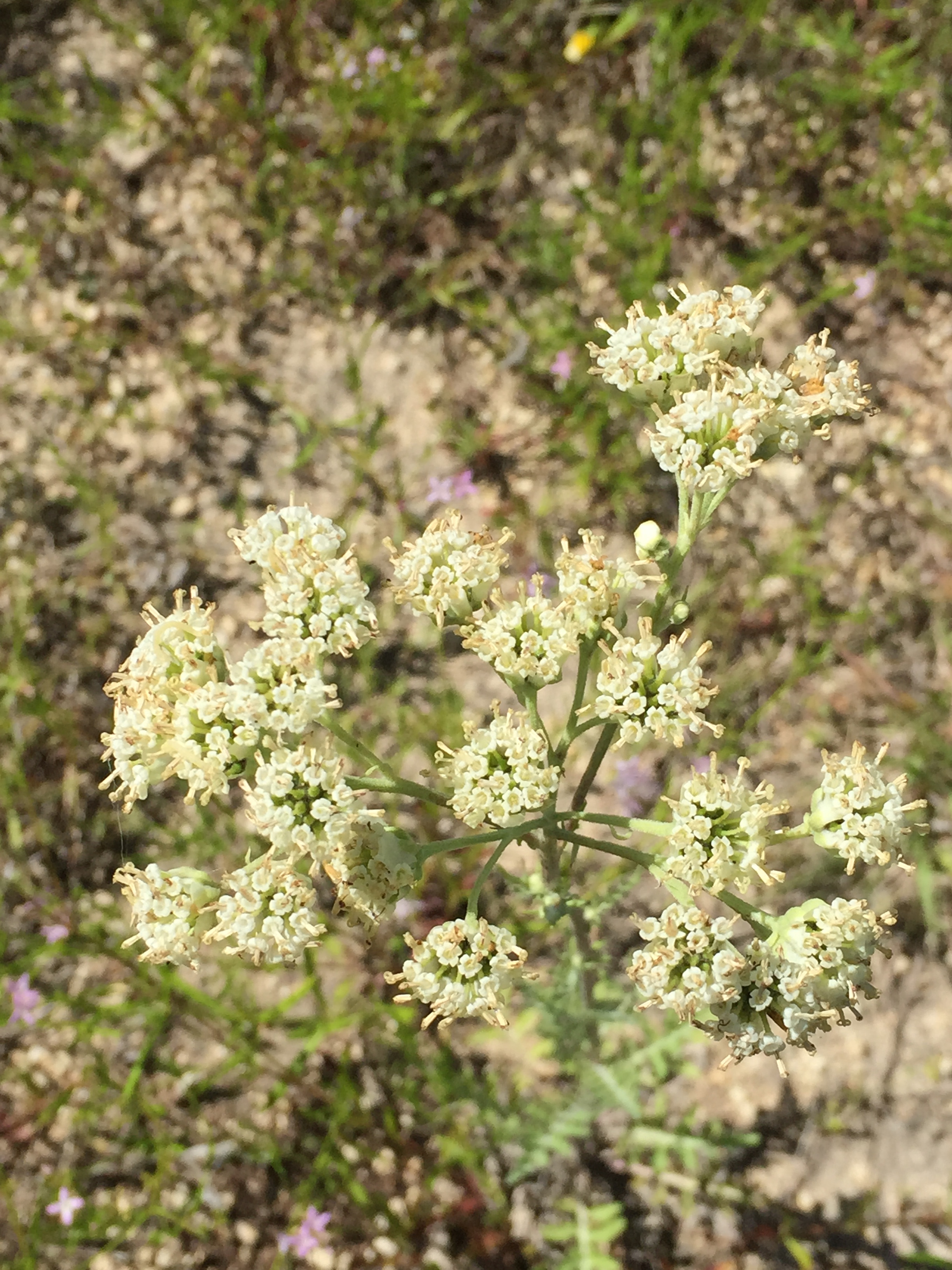 Unidentified Tiny White Flowers Honors 236001 Spring 2017