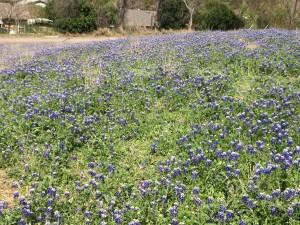 Field of Blue Bonnets 2