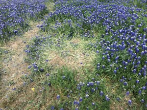 These Blue Bonnets had been crushed I guess by someone sitting on them.