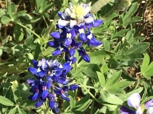 Close up of Blue Bonnets