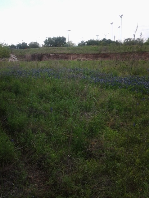 A large patch of bluebonnets near the creek.
