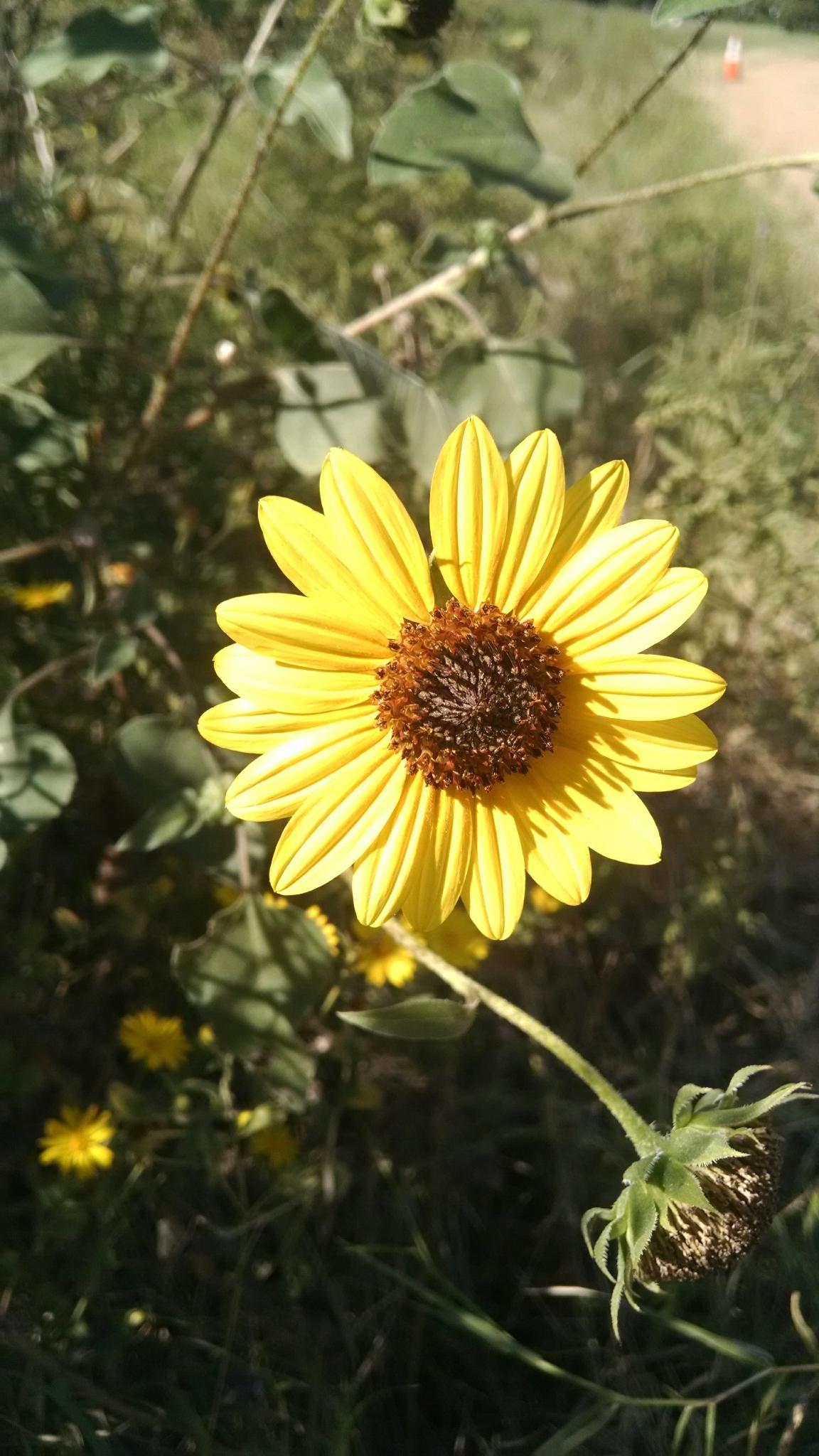 Texas Sunflower Wild Keep Austin Biodiverse
