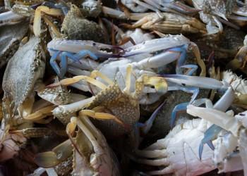 Fresh Gulf Crabs