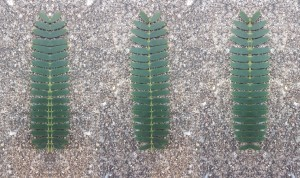 leaf-symmetry