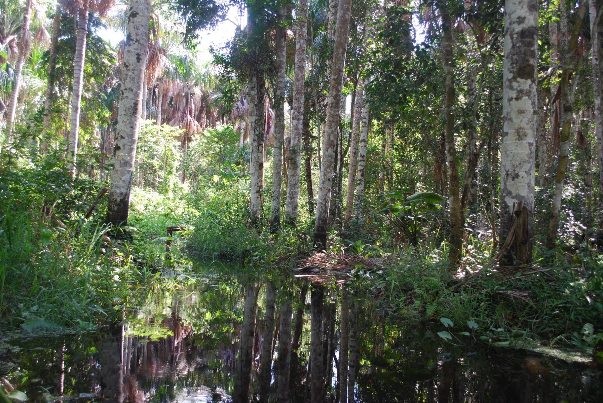 Trees in a swamp in the Amazon rain forest.