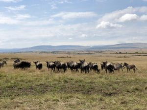 A herd of wildebeest and zebras meandering about the vast and empty Maasai Mara National Reserve.