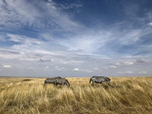 Two zebras graze in the vast Maasai Mara National Reserve where the grass and sky both seem endless. Few people are seen aside from tour guides and tourists.