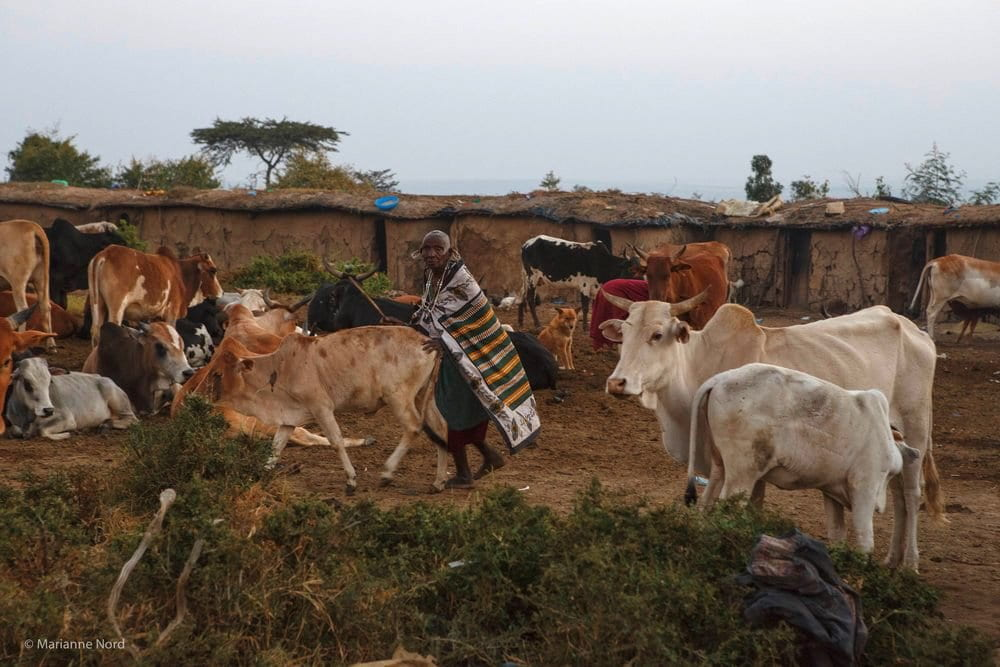 Picture showing a Maasai man with his cattle in a Maasai village.