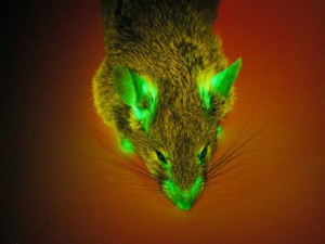 ais GFP mouse
