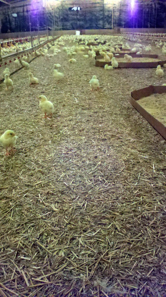 Switchgrass bedding in a poultry house in Greenwood, Del.