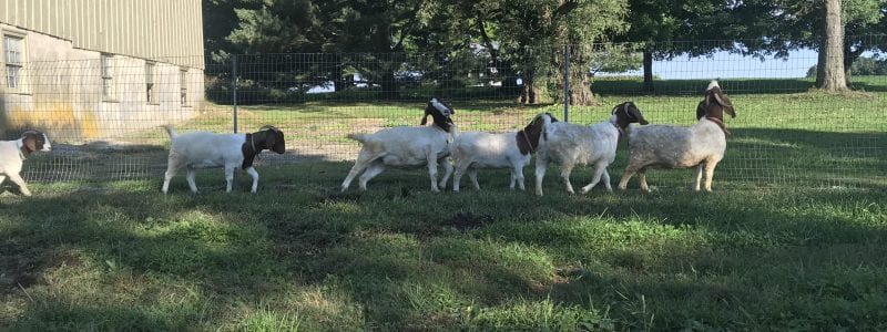 Six white and brown goats along a fence line, walking away from a beige barn.