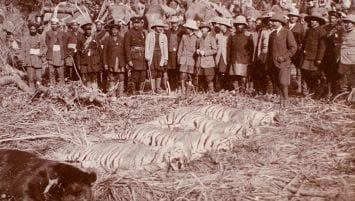 A black and white photograph of a large group of men wearing hunting gear posed behind the prostrate bodies of four tigers and a bear lying on a bed of plant debris.