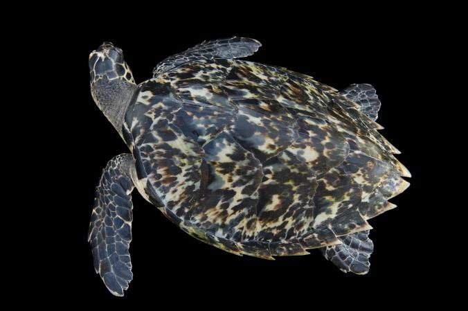 A hawksbill marine turtle is pictured in front of a black background. An aerial view of the turtle shows its shell, comprised of thirteen individual plates. The plates overlap slightly, similar to roofing tiles, and they are back, brown, and white in color.