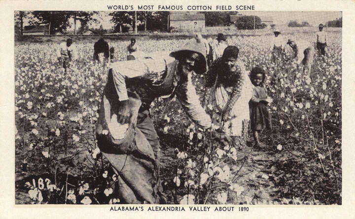 Black and white photo postcard of workers harvesting a cotton field.