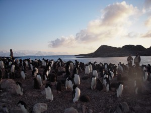 Adelie Penguin Rookery