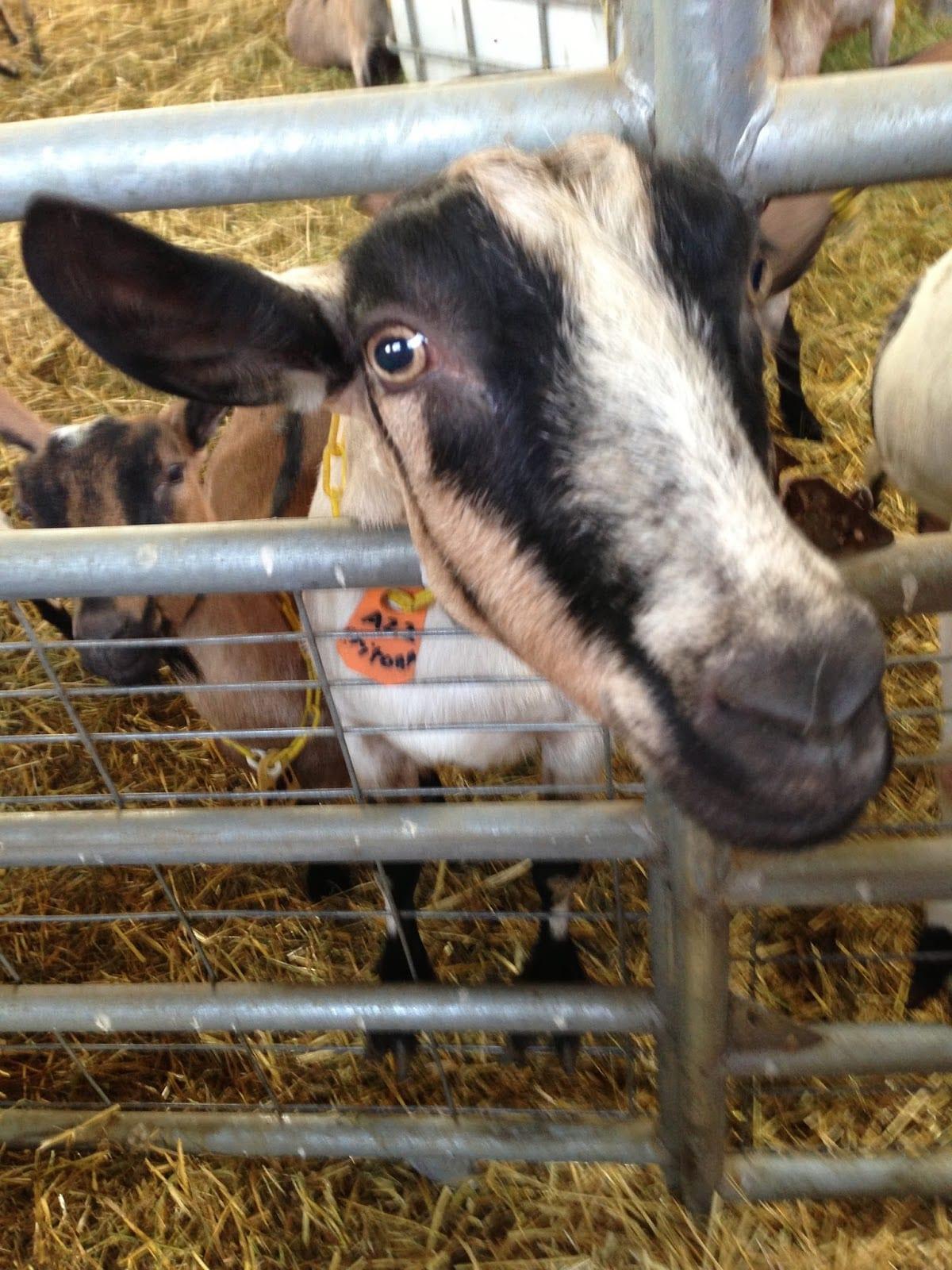 Fern's Edge Dairy Goat