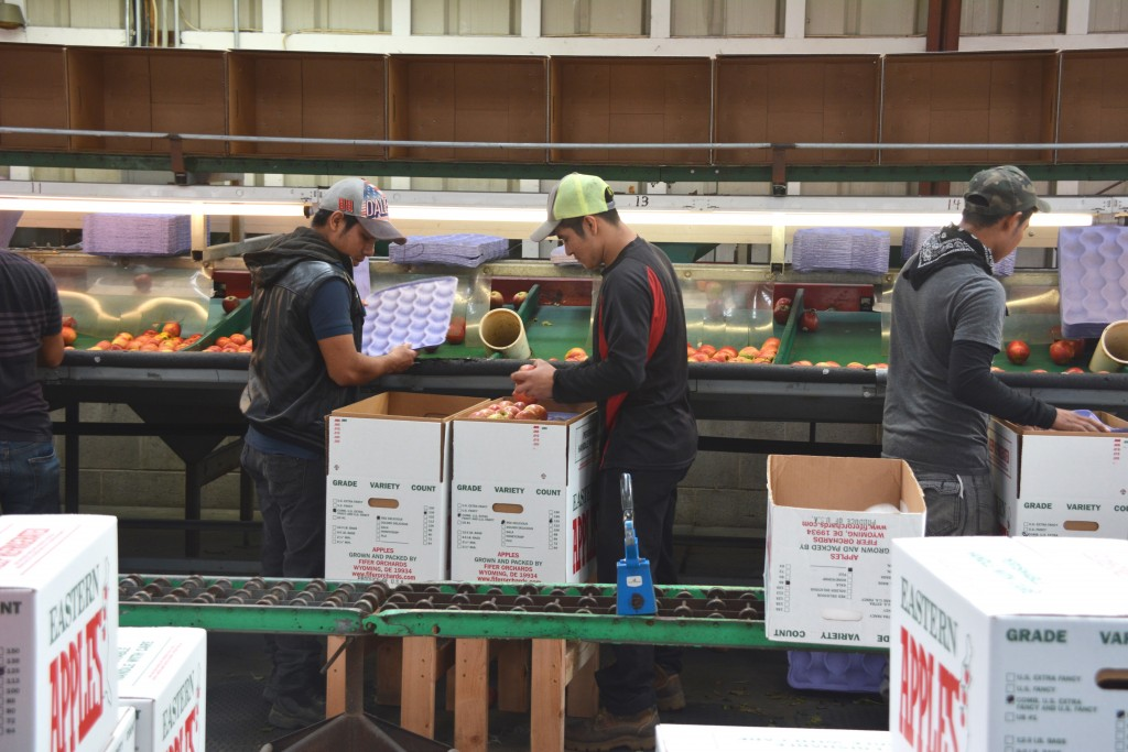Employee's sorting and packing apples!