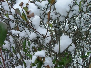 Bobbee™ bayberry (Myrica pensylanica 'Bobzam')