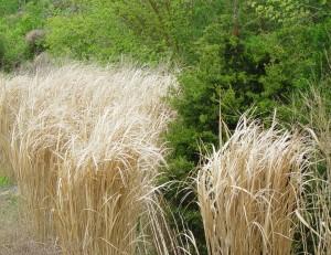 Northwind Switchgrass with Juniper