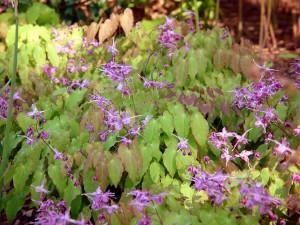 Barrenwort (Epimedium sp.) in flower at the Delaware Center for Horticulture.