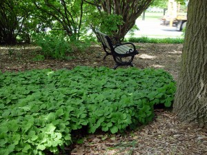 Allegheny spurge (Pachysandra procumbens) on UD's campus.