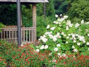 Spigelia marilandica and Hydrangea quercifolia – Oakleaf hydrangea with a native perennial, Indian pink, in the University of Delaware Botanic Garden.