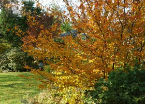 Ironwood, the woody selection, turns a beautiful bronze color in fall (photo credit: Rick Darke)