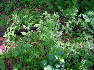 Multiflora rose growing at the edge of the woods. It would be great if this virus killed multiflora rose without harming our desirable garden roses, but that does not seem to be the case.
