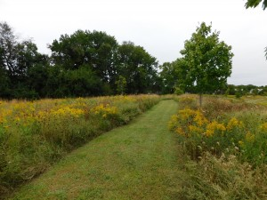 Goldenrod, Delaware's state herb, blooming in community common land in Northern Delaware.