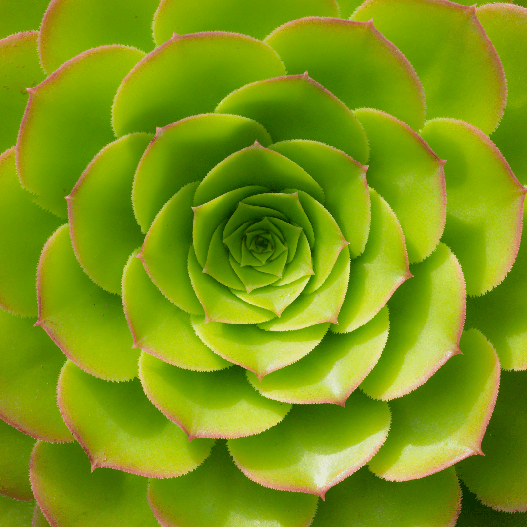 Top down view of a green succulent