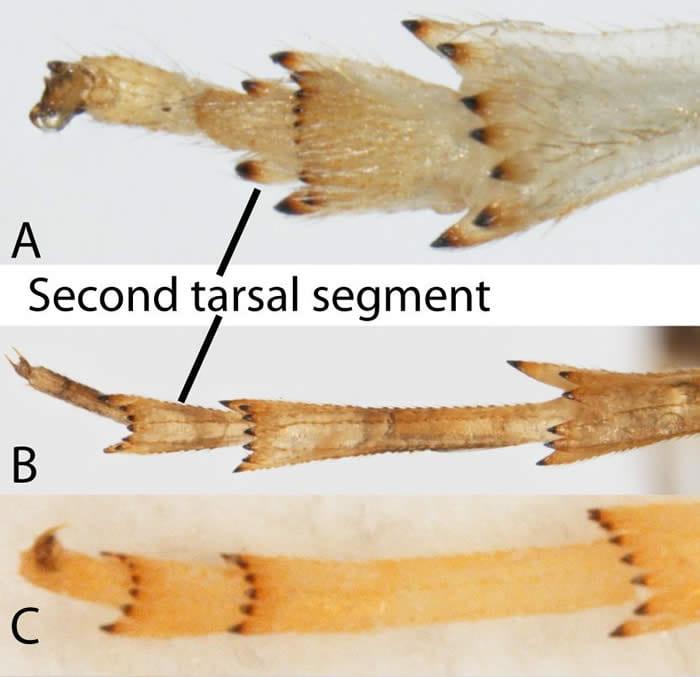 Figure1tarsi