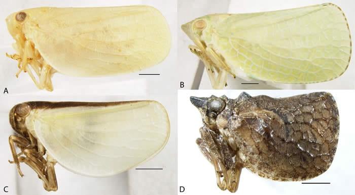 Figure6AcanaloniidaeLV