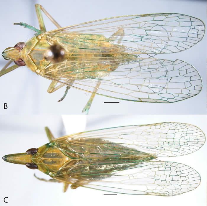 Figure71Dictyopharidae1part1