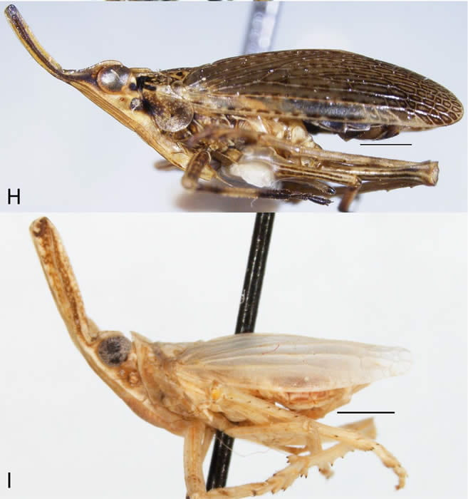 Figure72Dictyopharidae2part