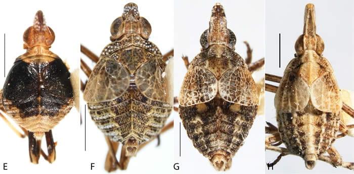 Figure73DictyopharidaeOrgeriinae1WLcrop