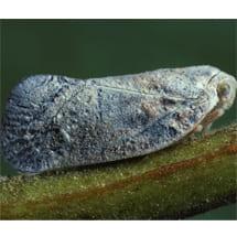 Metcalfa pruinosa (Flatidae)