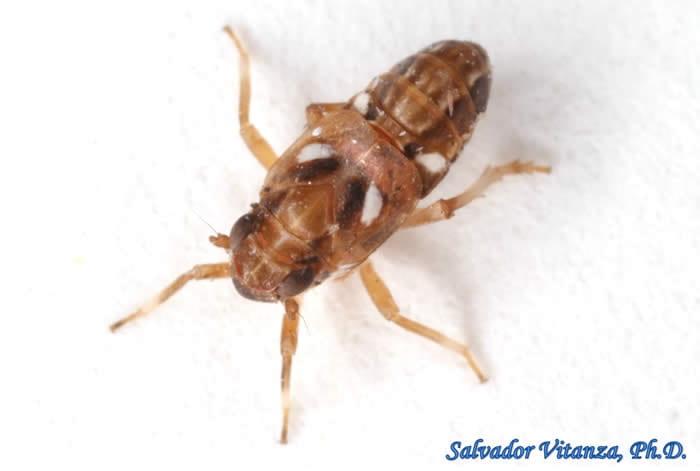 Asarcopus palmarum