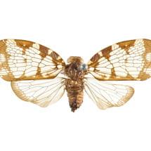 Nogodina reticula (Nogodinidae)