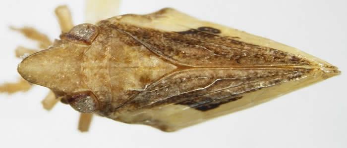 Philatis signata from Mexico Baja California, dirsal view