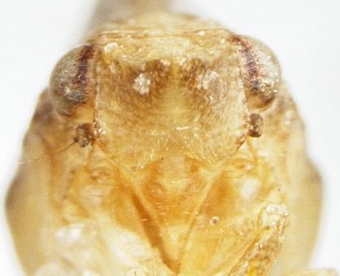 Philatis signata from Mexico Baja california frons