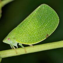 Acanaloniidae